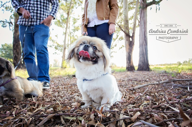 pekingese smile upload